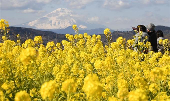 「黄色いじゅうたん」菜の花が満開、ひと足早い春 sankei.com/photo/story/ne……
