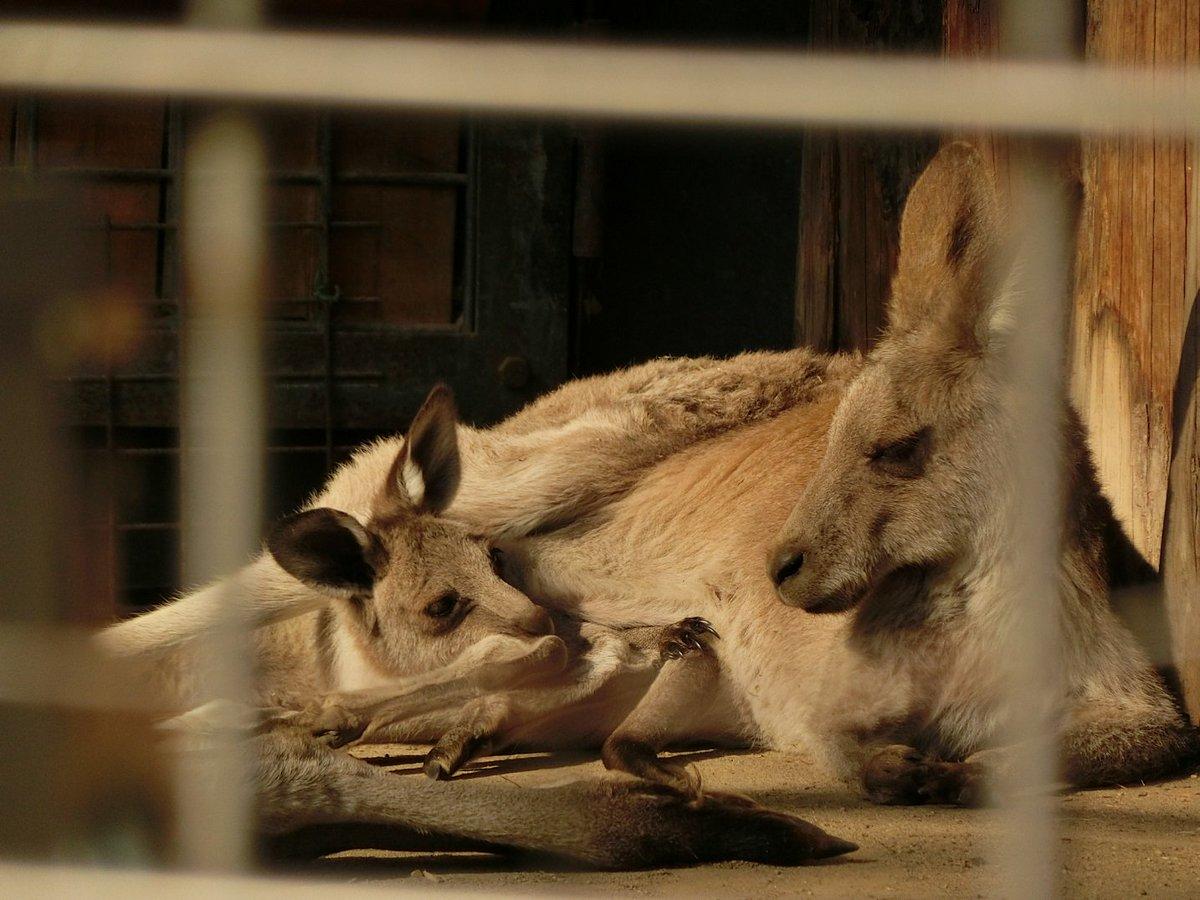 おはようございます。上野動物園開園です。 オオカンガルーの仲良し親子! ぽかぽか天気だとチビッコも袋…