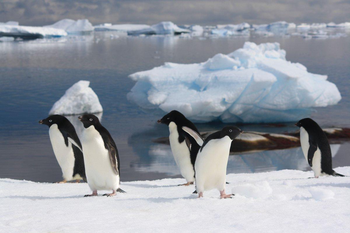 Adélie #penguins – the #ClimateChange winners?  http:// buff.ly/2j1beVJ  &nbsp;   #PenguinAwarenessDay<br>http://pic.twitter.com/1uPg5XjXFR