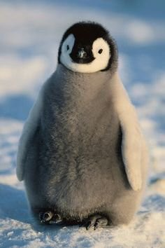 Just in case you're not aware, this is what a baby penguin looks like...