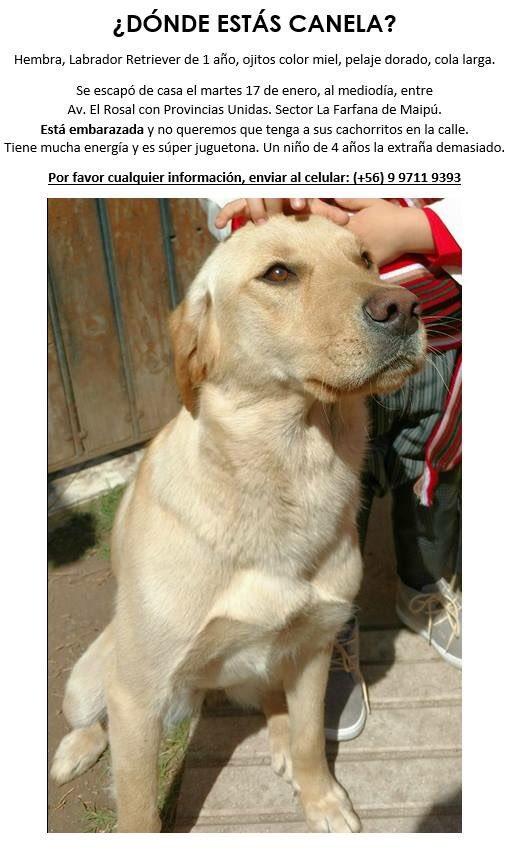 Perdida en #maipu su familia la busca @TonkaTP @bartorell @carolinapinoc @CarolinaDiAz_ @Verofilu @Animalperdidocl rt<br>http://pic.twitter.com/wL0hXo4aMG