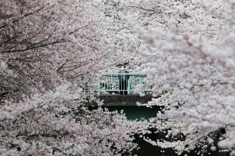 e81291680a9d japan issues first forecast for 2017 sakura cherry blossom season