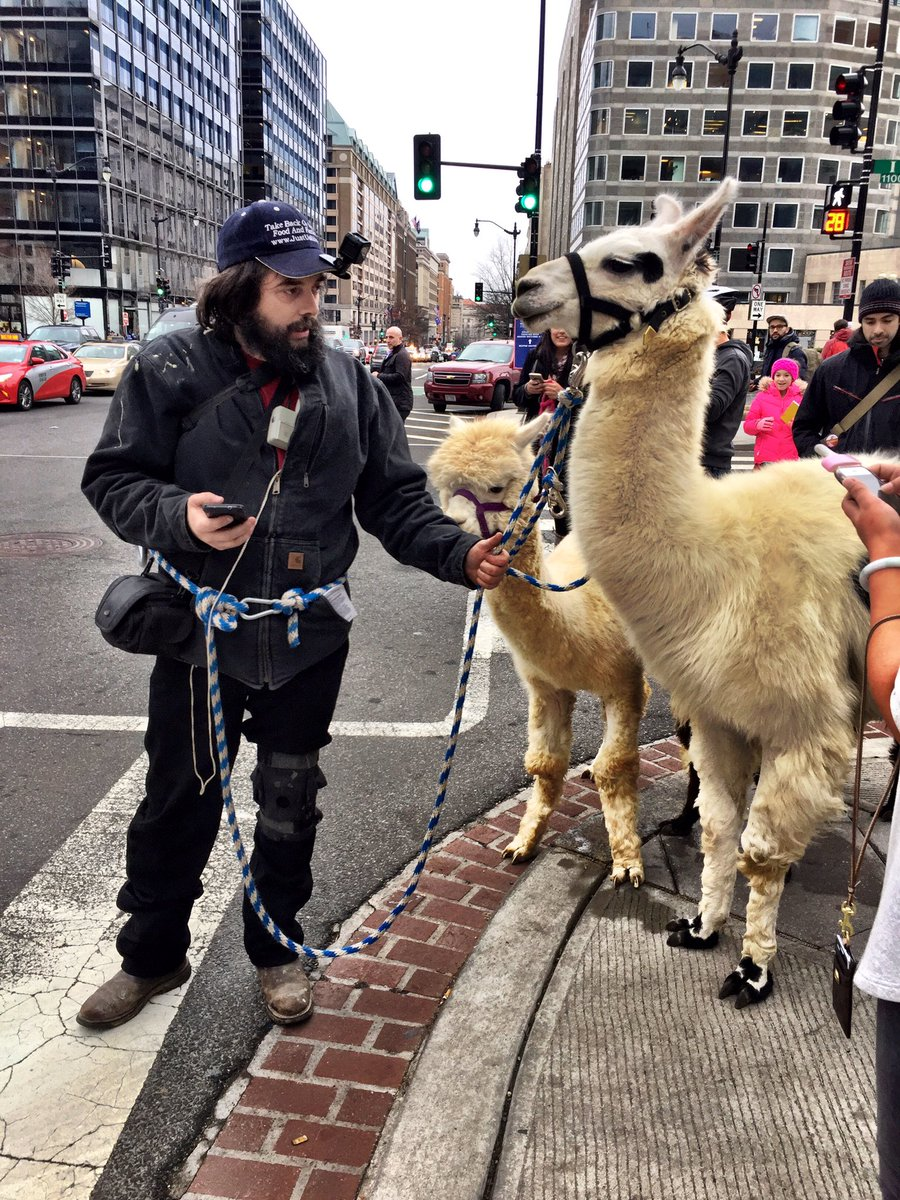 In the midst of the D.C. Protests a man walks his llamas https://t.co/0OszVtF9zj