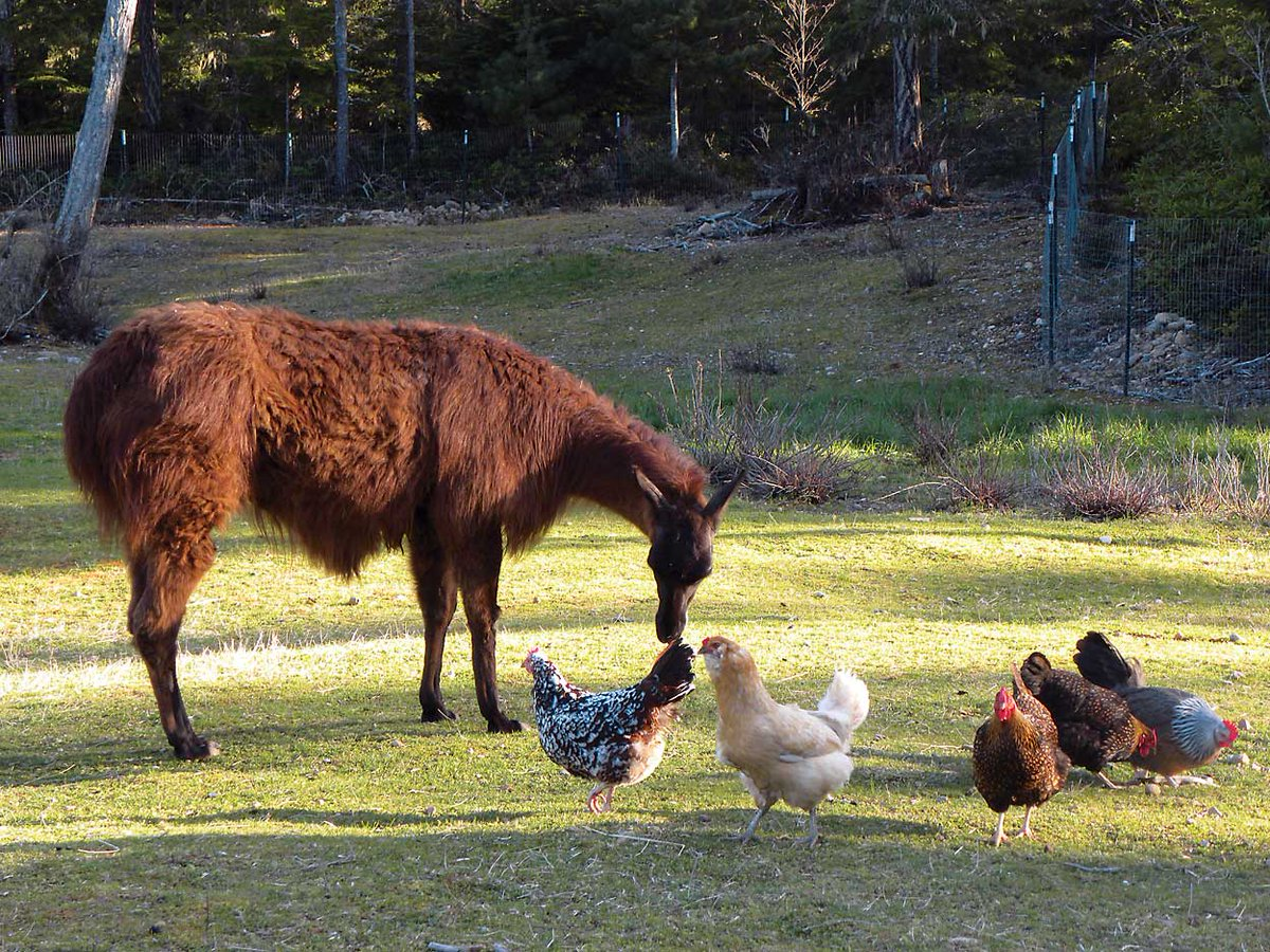 Llamas, well-known guardian animals, can keep an eye out for your chickens, too. https://t.co/pc4UOuFBWj https://t.co/9I8LbXYAWR
