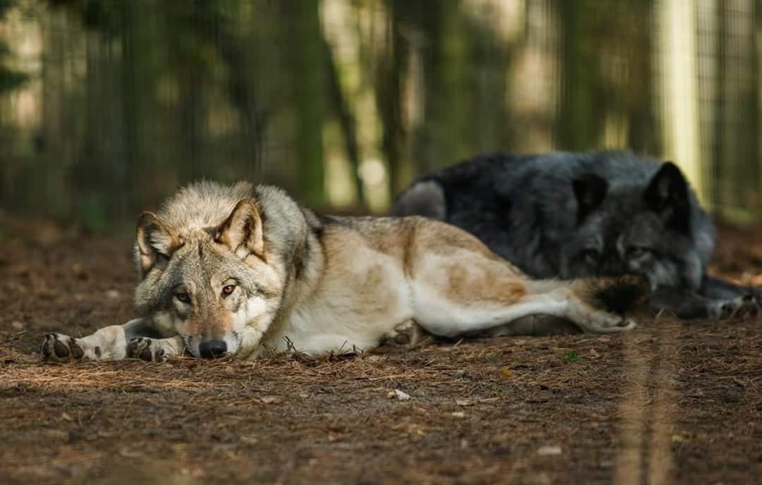 ~Good morning wolf and animal lovers~    #Wolves #wolf #Wolfpack<br>http://pic.twitter.com/4FruQTa95S