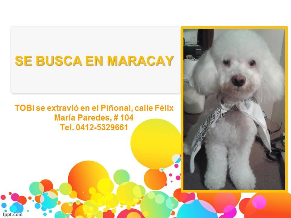 #SeBusca RT @Psordida: Extraviado en Maracay, Aragua. Dueños lo buscan y claman porque vuelva a casa. Info en foto<br>http://pic.twitter.com/q3ghsqoOmB