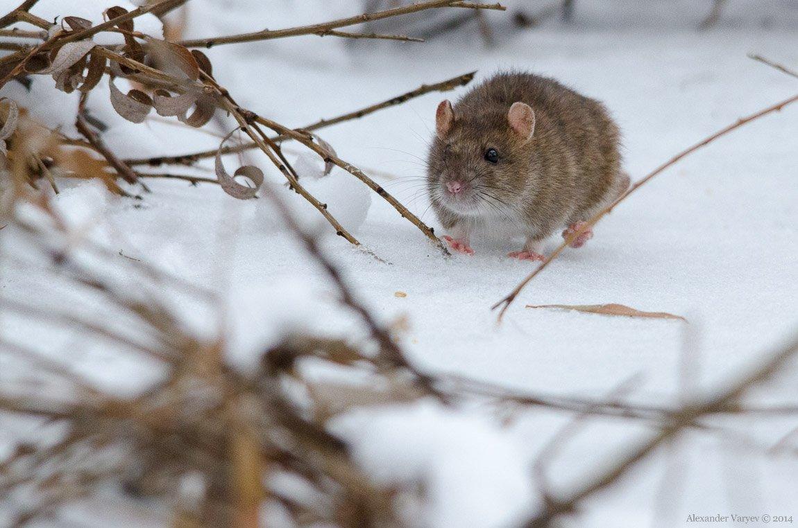 греются картинки мышей на снегу фото может выйти