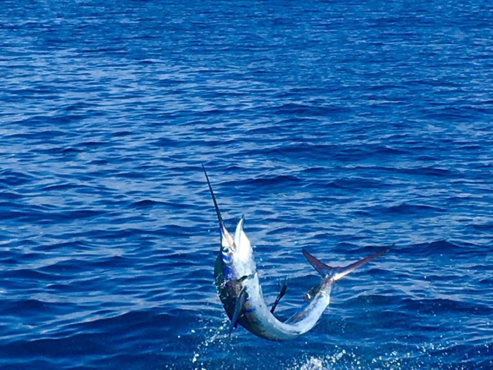 Guatemala - Sur Reel released 15 Sailfish.