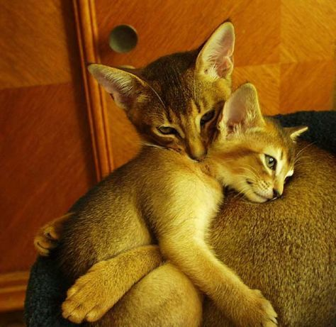 Check out this Abyssinian mama and kitten having a moment [See ALL our best cat Pix here -