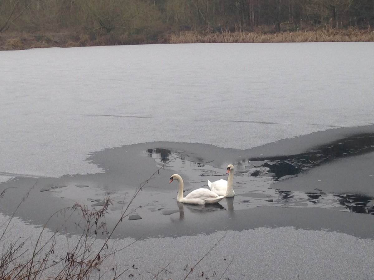 Stunning Swans on this mornings walk #take notice -spot their icy runway! <br>http://pic.twitter.com/nOjVKSTWMb