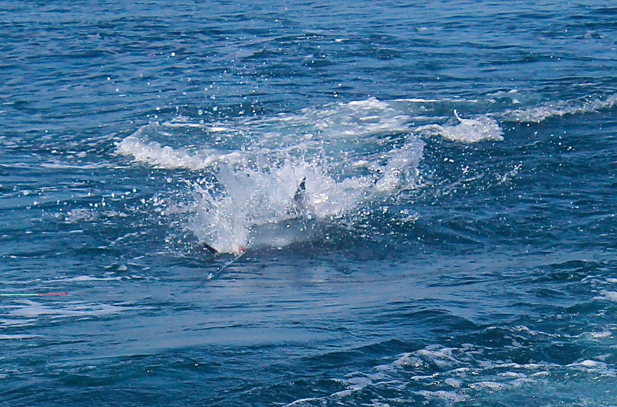 Guatemala - Blue Marlin on the bite on the Allure II.