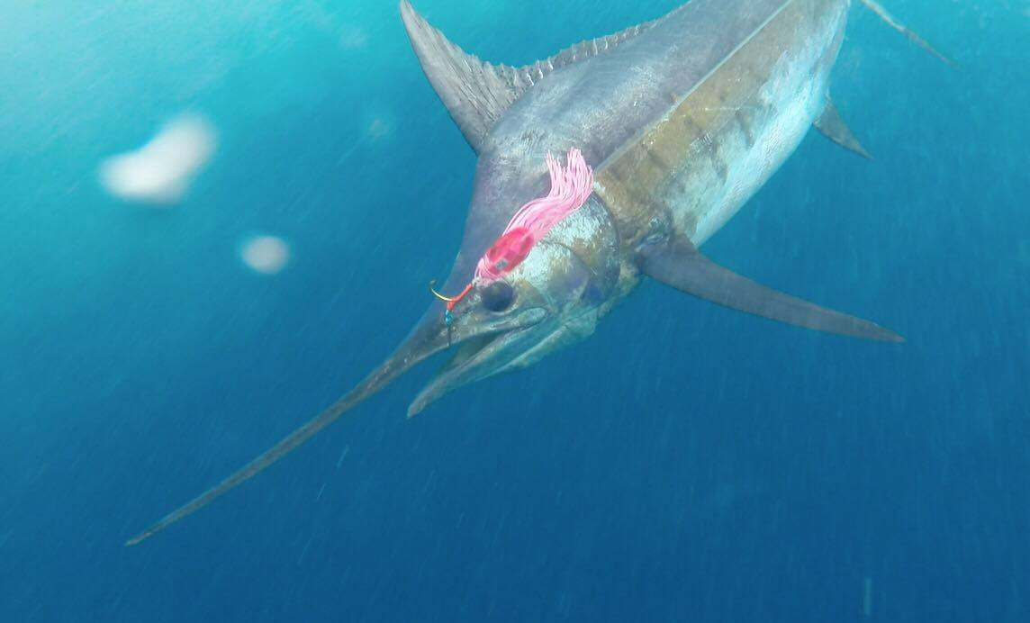 Cabo Frio, Brazil - Abi de Deus 4-4 blue marlin (450,450, 500, 600). Caught on Amaral Najas.