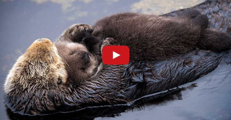1 Day Old Sea Otter Asleep on Mom CLICK to see cute [video] >