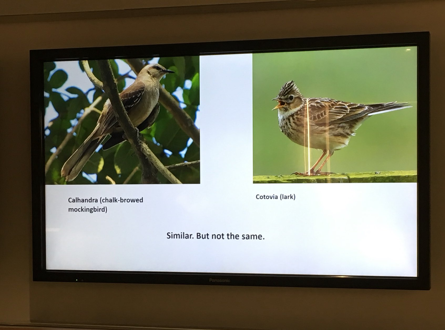 """Botelho on substituting different bird species for """"lark"""" in his trans. of Romeo & Juliet. #gwdh17 THIS TALK 😍 https://t.co/9Ozmhd27sN"""