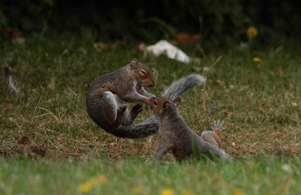 【動物】イーストロンドンのある男性の裏庭で、『武術家同士のような闘い』を繰り広げていた、リス2匹。闘…