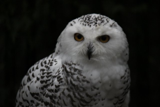 I hear it's Superb Owl Sunday again! So here is superb snowy owl I took a picture of in October. #Superb_Owl🦉 (wotsafootyball?) https://t.co/ohWR3qpQqZ