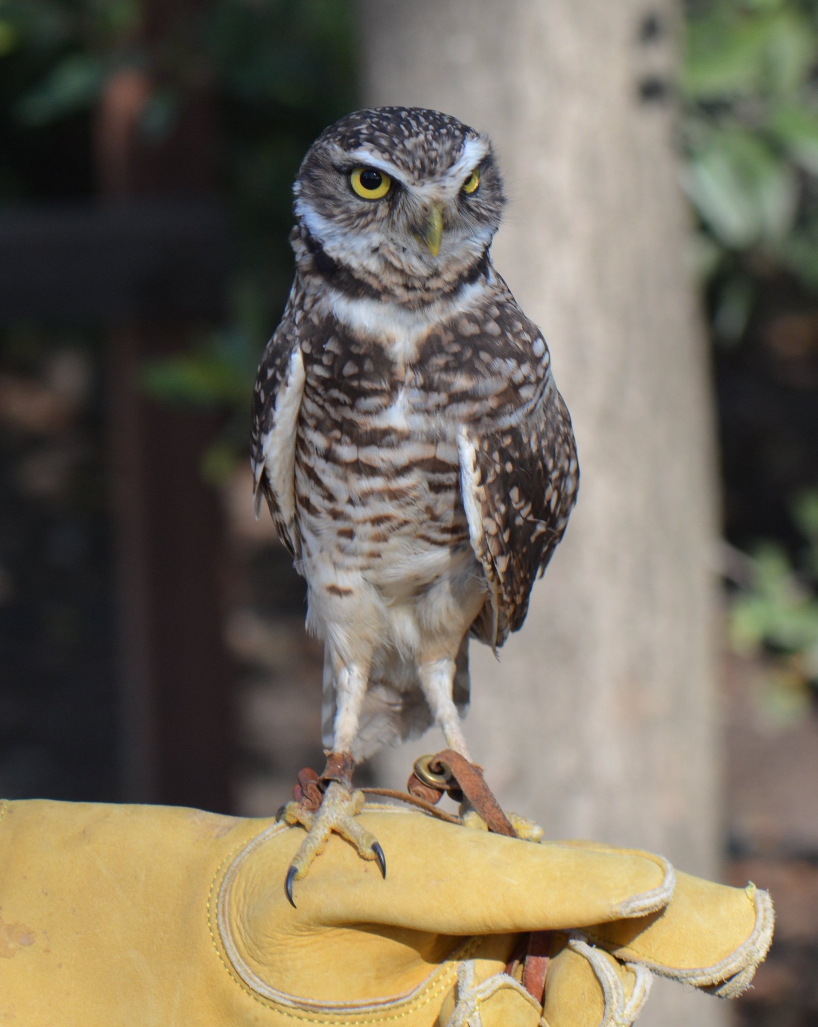 Today is #Superbowl vs #Superb_Owl challenge so posting some of my #Superb_Owls - here is #8 - burrowing owl at @CalRaptorCenter https://t.co/3m7TnBDhyN