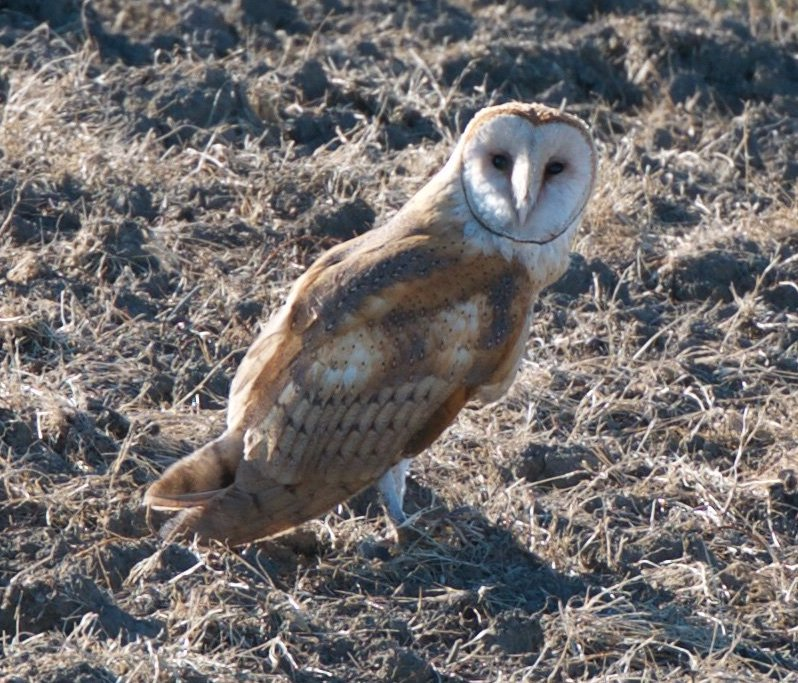 Today is #Superbowl vs #Superb_Owl challenge so posting some of my #Superb_Owls - here is #1 - barn owl at #YoloBasin https://t.co/I3xBL7nm8U