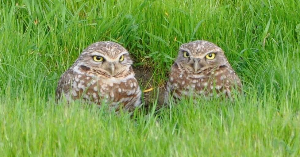 Today is #Superbowl vs #Superb_Owl challenge so posting some of my #Superb_Owls - here is #4 - burrowing owls in the grass in #DavisCA https://t.co/eufTDrSV3N