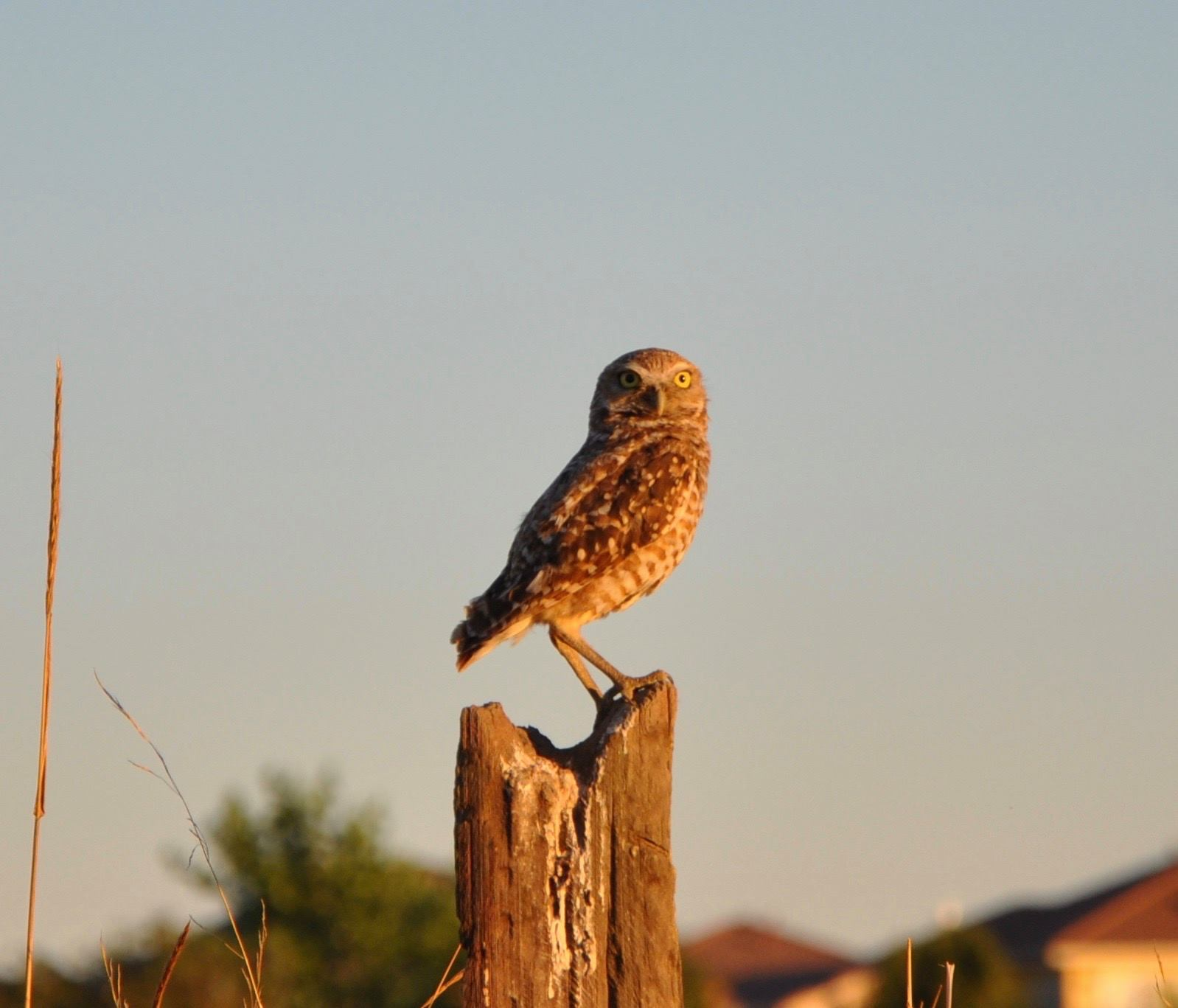 Today is #Superbowl vs #Superb_Owl challenge so posting some of my #Superb_Owls - here is #6 - burrowing owl in #DavisCA https://t.co/FlJFFxO0uy