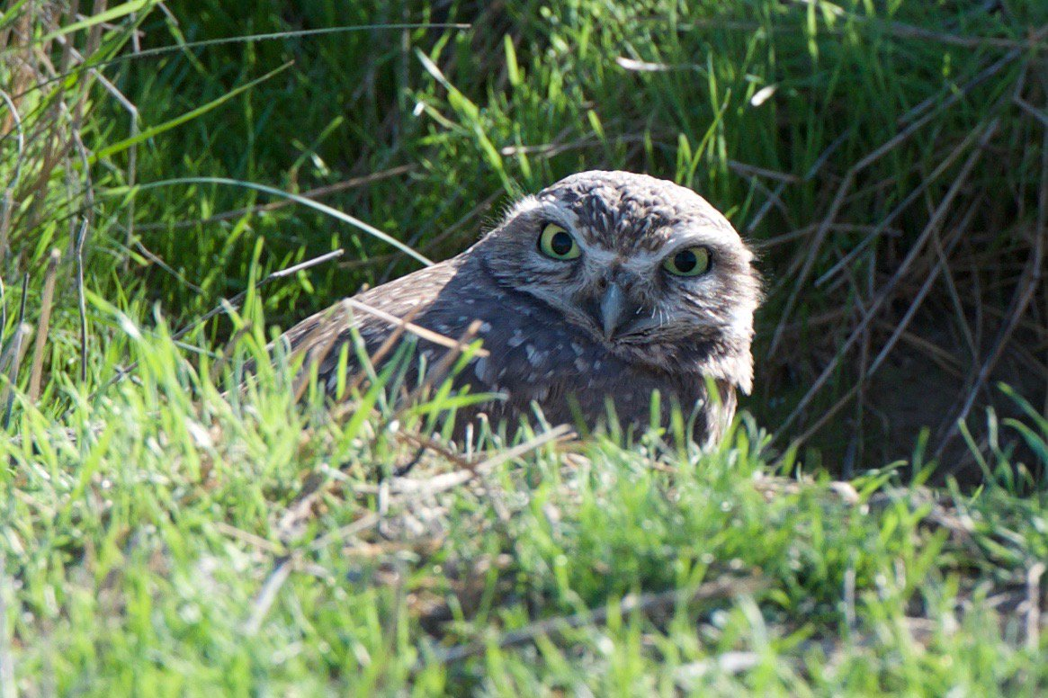 Today is #Superbowl vs #Superb_Owl challenge; posting some of my #Superb_Owls - here is #14 - burrowing owl in #DavisCA https://t.co/Gg5DeJmVb7