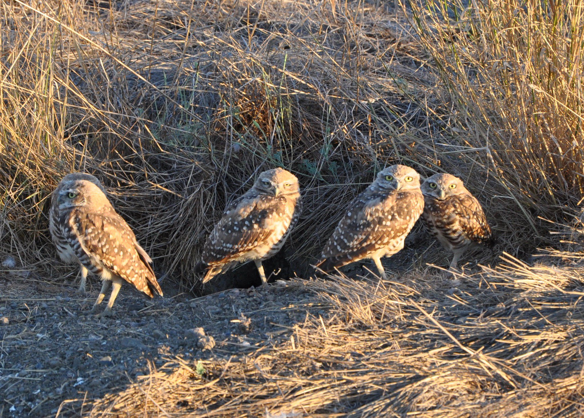 Today is #Superbowl vs #Superb_Owl challenge; posting some of my #Superb_Owls - here is #15 - burrowing owl clan in #DavisCA https://t.co/iaemzlEuLw