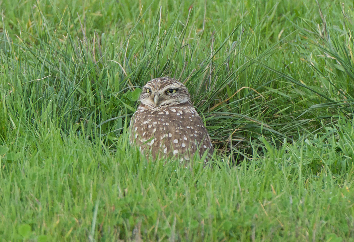 And finally for today's #Superbowl vs #Superb_Owl challenge - took this pic of a burrowing owl in #DavisCA a few minutes ago https://t.co/uO7dQajkeX