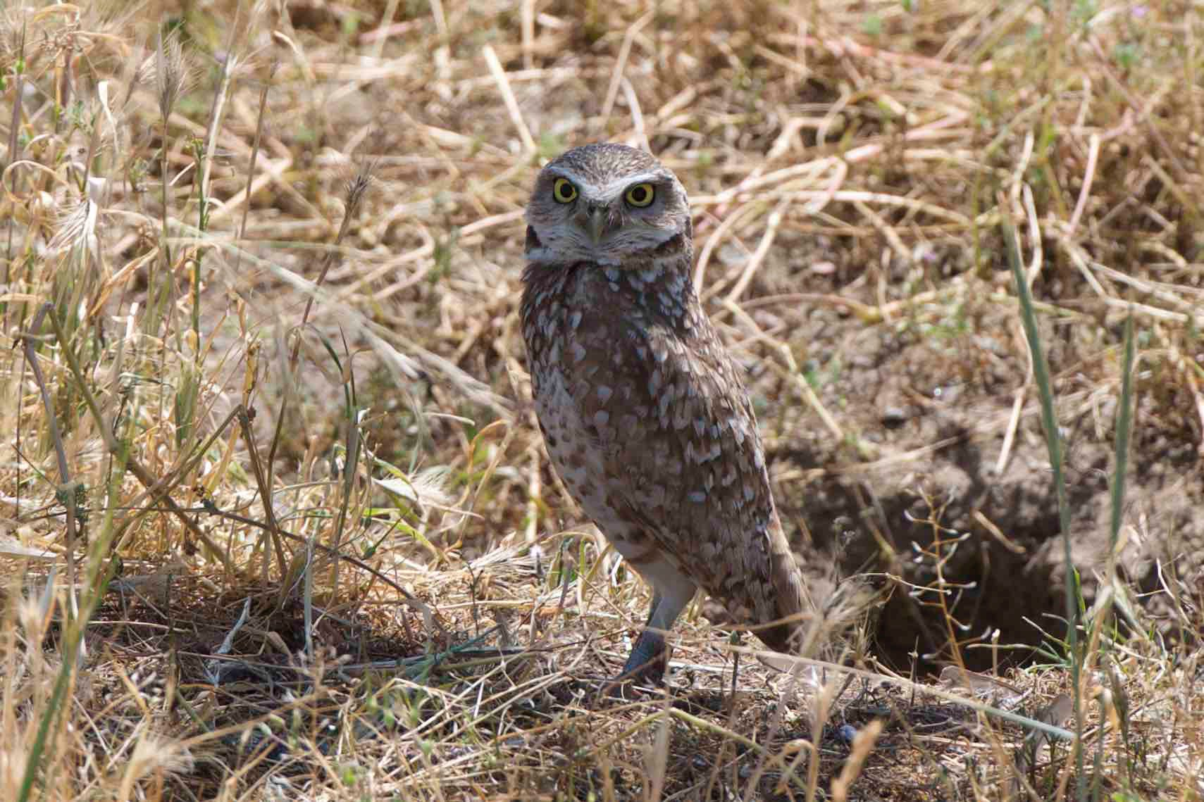 Today is #Superbowl vs #Superb_Owl challenge; posting some of my #Superb_Owls - here is #13 - burrowing owl in #DavisCA https://t.co/Nb5LUmGXNq