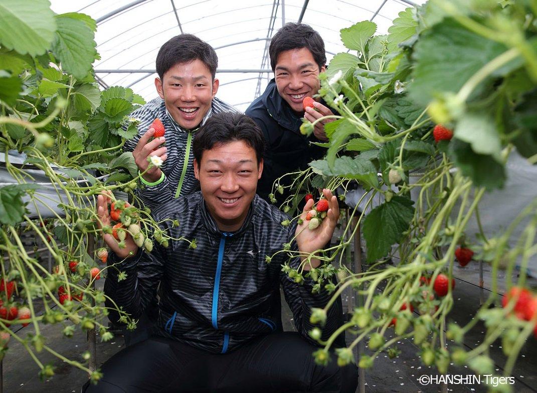 2/6(月) 初めての休日 大山選手、小野選手、糸原選手のルーキー3人は宜野座村でイチゴ狩りを楽しみ…