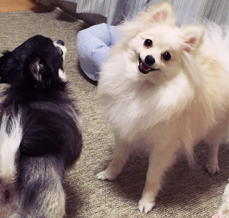喧嘩中にカメラに気づいた犬のプロ意識がモデル級ww