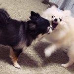 喧嘩中にカメラに気づいた犬のプロ意識がモデル級