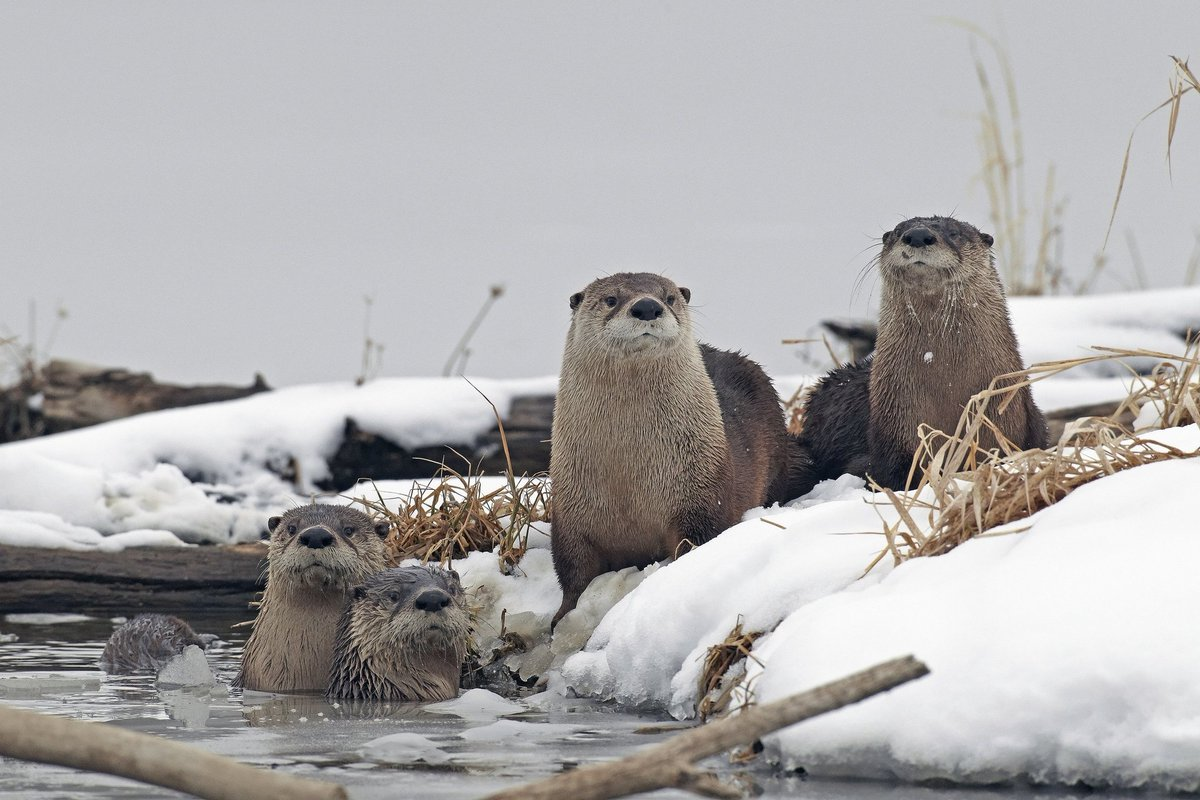 Winter is a great time to frolic with friends at Loess Bluffs #WildlifeRefuge. Photo by Kenny Bahr #Missouri