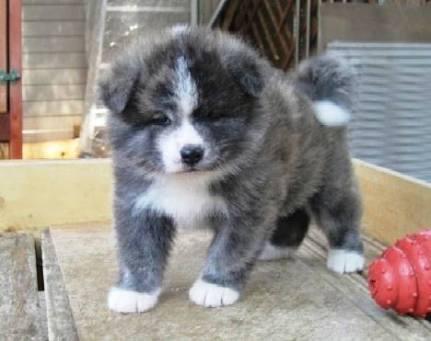 足だけ白い秋田犬の子犬