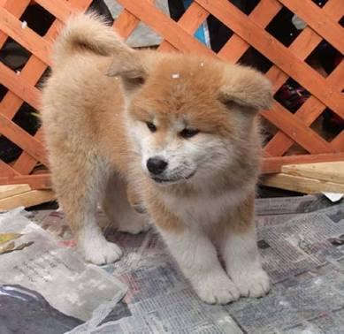 ぶちゃかわで外国でも大人気!ふわふわ秋田犬の高画質な画像まとめ