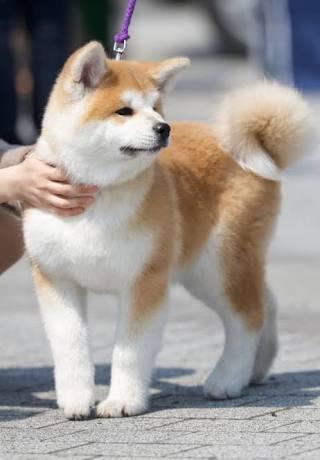 しっぽがくるんとした秋田犬の子犬