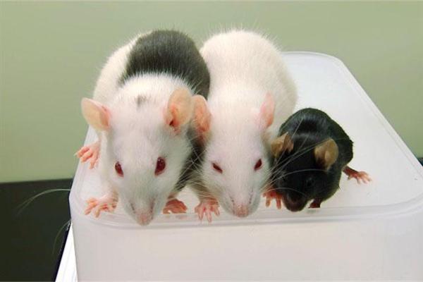 iPS膵臓で糖尿病マウスを治療 東大、異種の体内で再生 sankei.com/life/news/1…