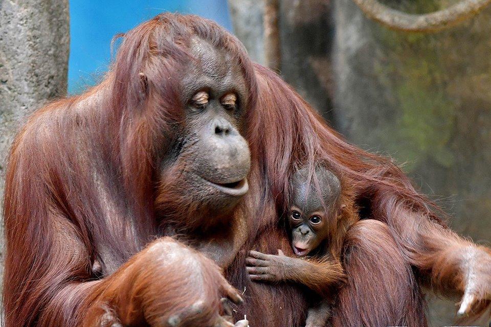 Late entry to #cuteanimaltweetoff but gotta go with Sophia & baby! @sdzsafaripark @BronxZoo @sfzoo @ZooATL @phillyzoo @VAAquarium @VLMuseum https://t.co/EsMqyXu8aj