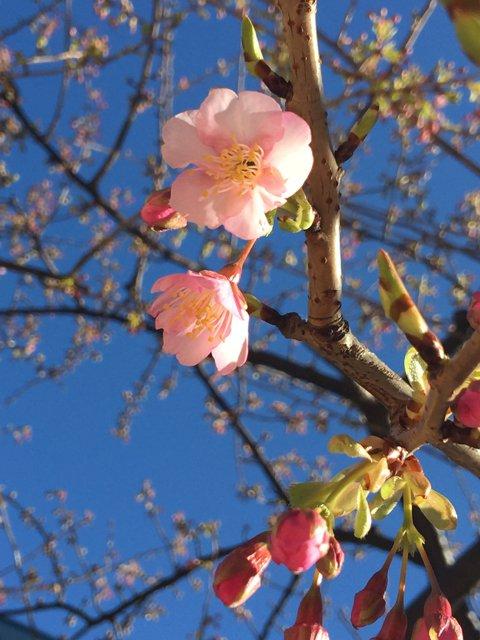 お台場の桜が咲いてたよー ヽ(*´∀`)ノ゚