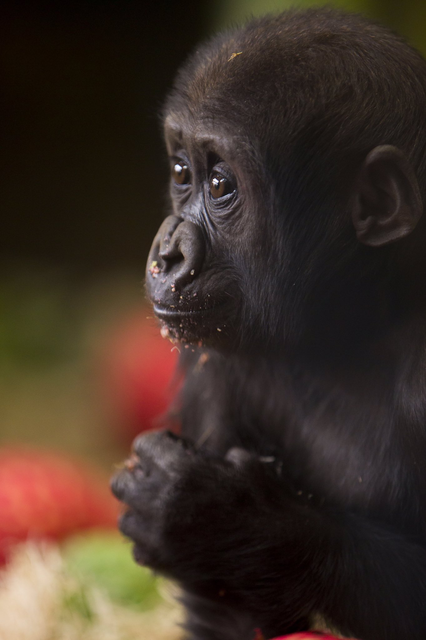 .@MemphisZoo we raise you a #CuteAnimalTweetOff of an endangered lowland gorilla infant enjoying some snacks. https://t.co/YzwpbXHXvP