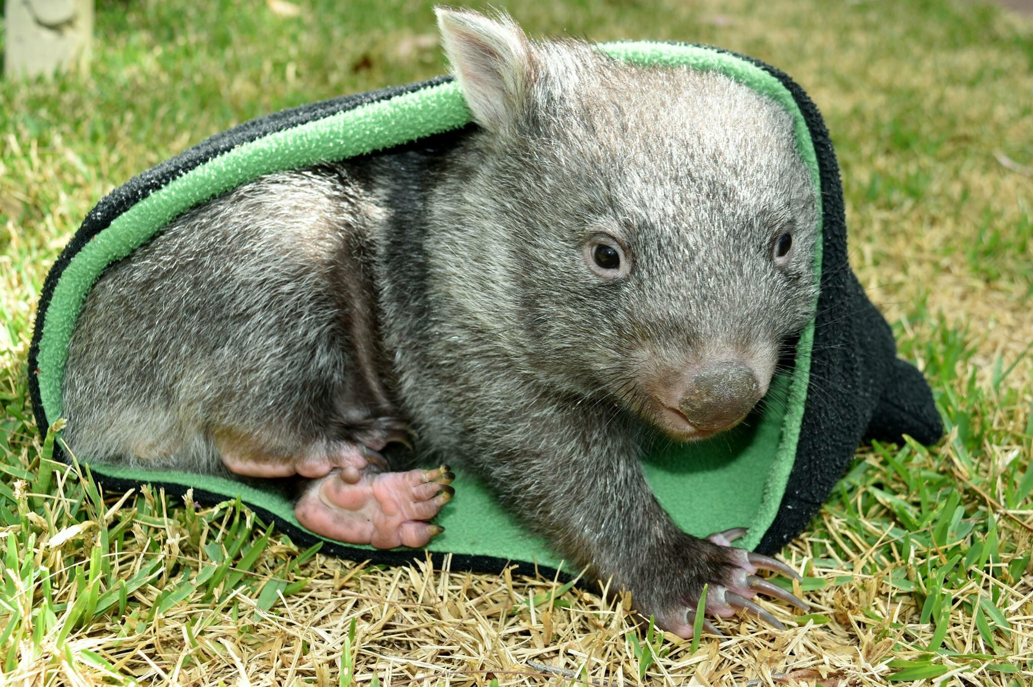 Hahaha yeah ok American zoos.. Try and beat George the baby wombat #checkmate #cuteanimaltweetoff https://t.co/6iQ8OPZlnz