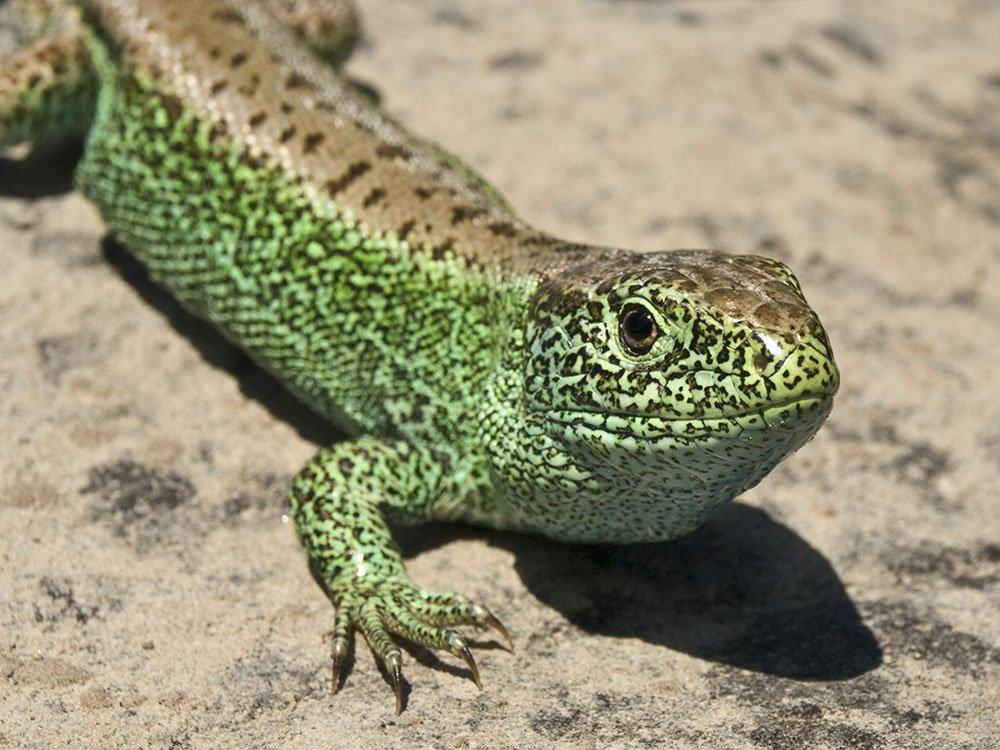 Diferența Dintre șopârlă și Salamander | Animale
