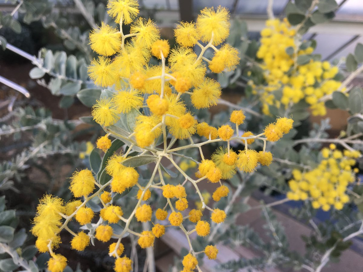 Kew gardens on twitter with golden ball shaped flowers blooming in kew gardens on twitter with golden ball shaped flowers blooming in late winter the acacia podalyriifolia has a very distinctive mightylinksfo
