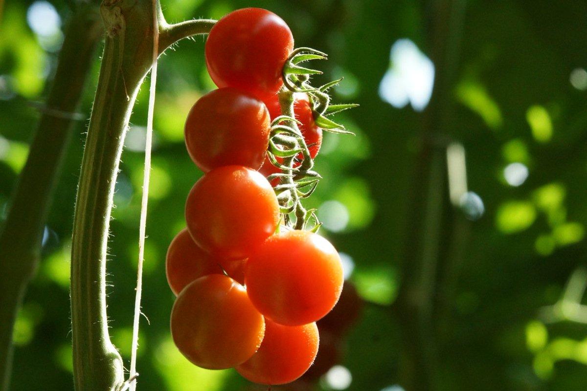 Alimentazione e Scienza: i pomodori torneranno al loro reale sapore