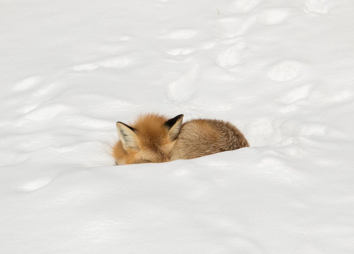 A thick coat keeps this resting fox warm on a cold day. https://t.co/U0nxNttX6Z