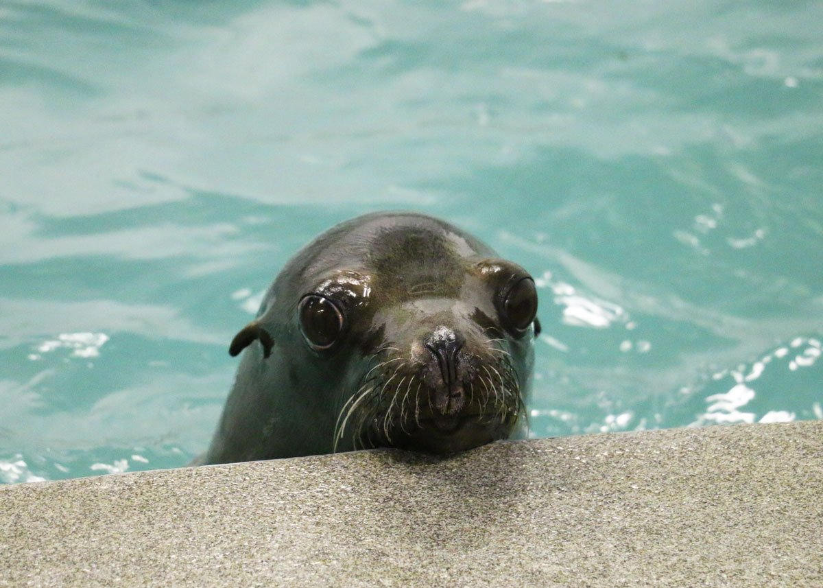 OK, so is #cuteanimaltweetoff still happening? Tipper the rescued sea lion wanted to know. https://t.co/I35kqMVKpV