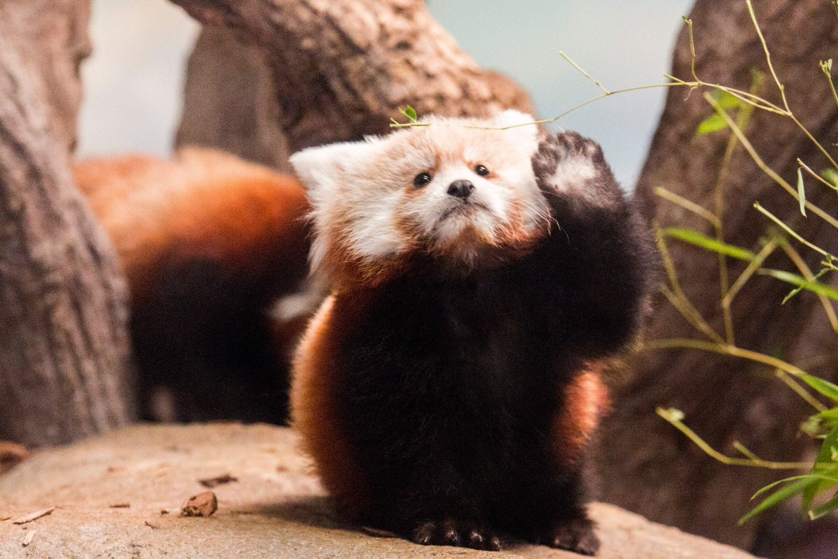 Wait, everyone! Our #redpanda cub wants to be included in the #cuteanimaltweetoff https://t.co/0bL8UiHV8f