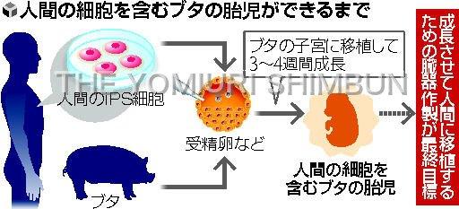 人間の細胞を持つブタの胎児作製