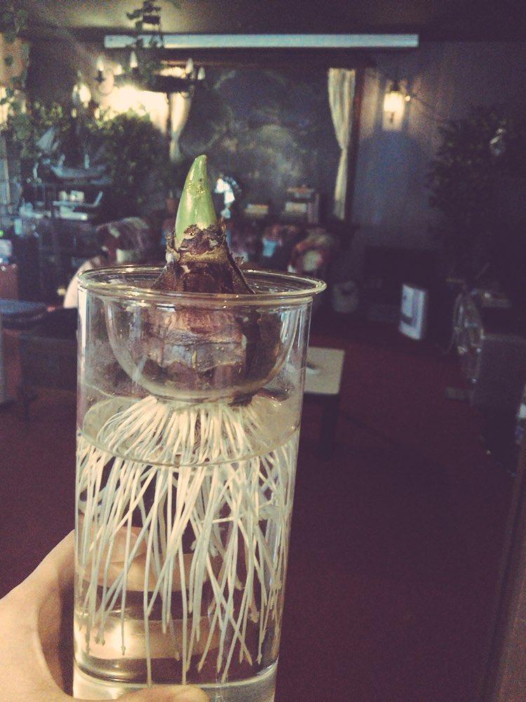 我が家のリビングで育てているヒヤシンス。芽が出た。