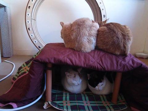 やっぱり猫はこたつで丸くなりますね! #こたつ猫 #こたつねこ #cat #catcafe https://t.co/HmxoEFOmZ9