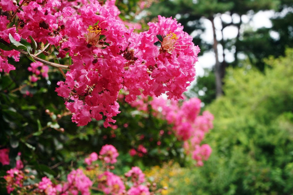 Nature hills nursery on twitter sioux crapemyrtle tree dark nature hills nursery on twitter sioux crapemyrtle tree dark pink flowers bloom summer fall fall leaves turn shades of red and purple mightylinksfo